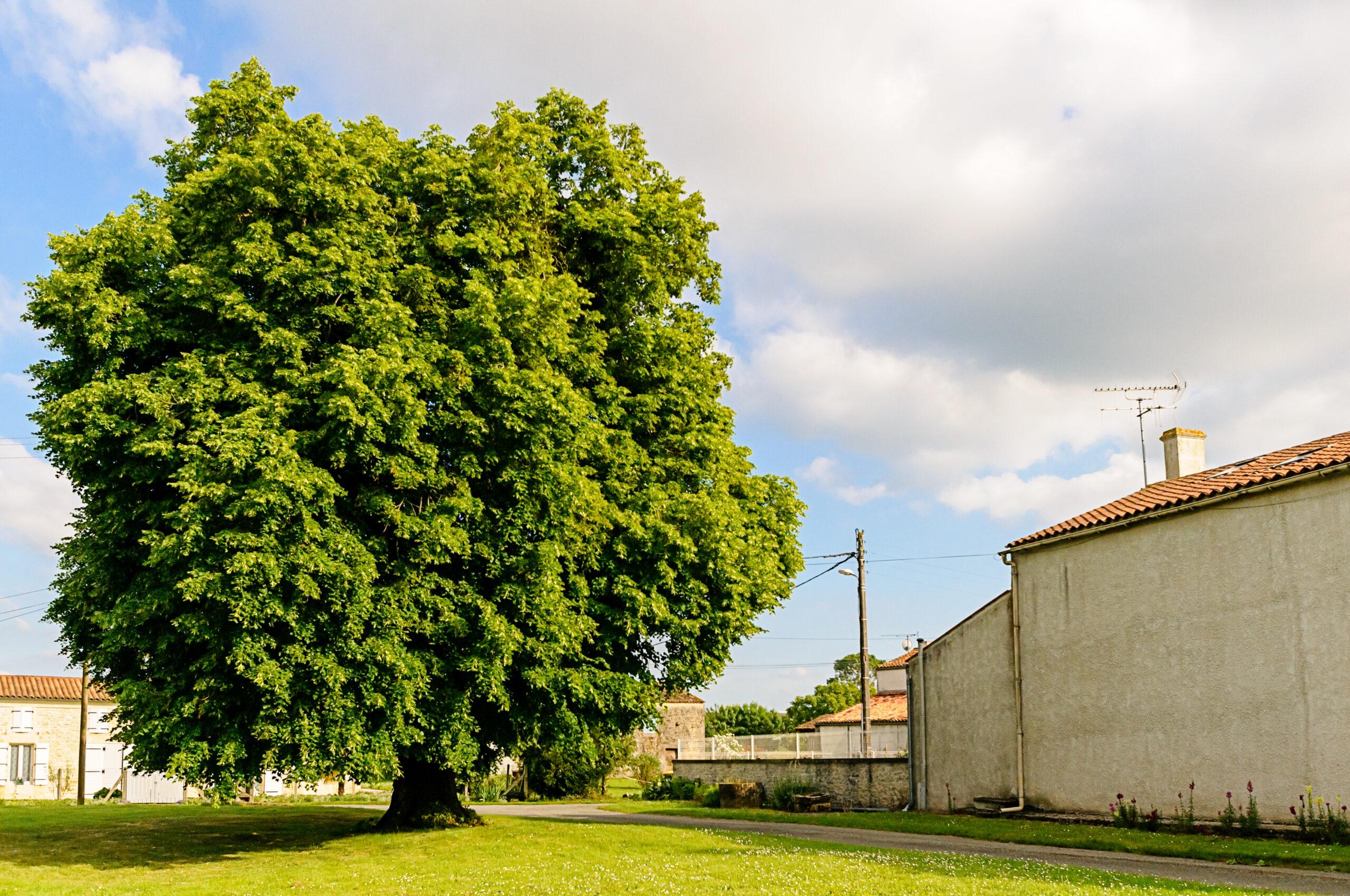 """Archingeay - Le tilleul du hameau """"Chez Joulin"""""""
